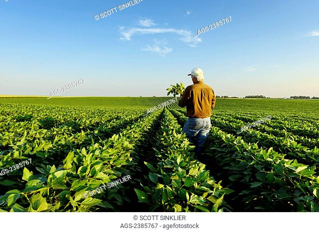Agriculture - A farmer inspects several soybean plants in his mid growth soybean field / Iowa, USA