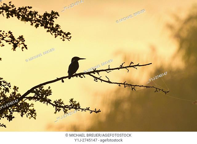 European Kingfisher (Alcedo atthis) at Sunrise, Hesse, Germany, Europe