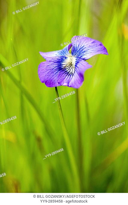 Violet Species - Coontree Trail, Pisgah National Forest, near Brevard, North Carolina, USA