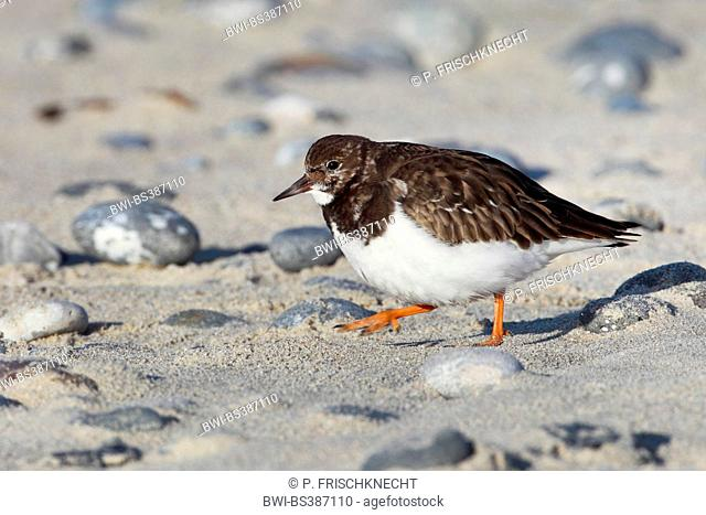 ruddy turnstone (Arenaria interpres), searching food on the beach, Germany, Schleswig-Holstein, Heligoland