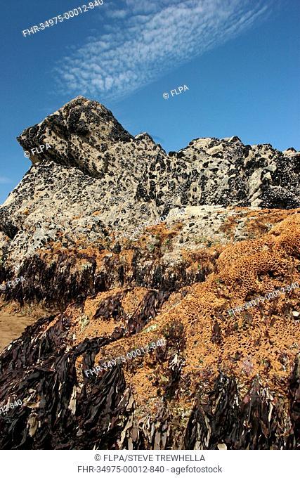 Honeycomb Worm Sabellaria alveolata tube reef colony, on exposed rocky shore, Sandymouth Bay, Cornwall, England, may