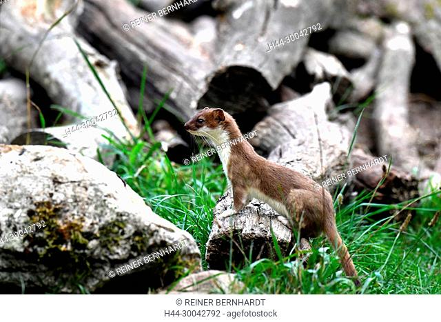 Local predator, endemic animal, agile robber, big weasel, ermine on prey search in summer, doggy, short tail weasels, martens, similar to marten