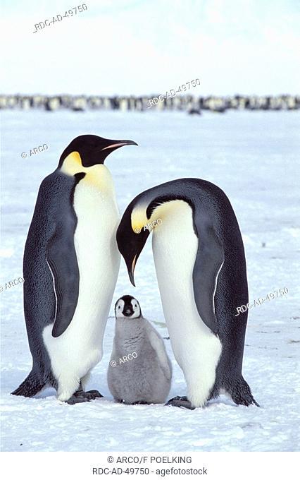 Emperor Penguins with chick Dawson-Lambton Glacier Antartica Aptenodytes forsteri