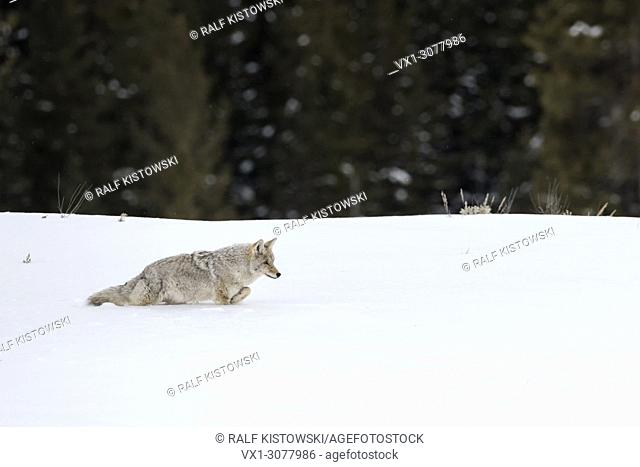 Coyote ( Canis latrans ), in winter, walking through deep snow along the edge of a forest, Yellowstone NP, USA.