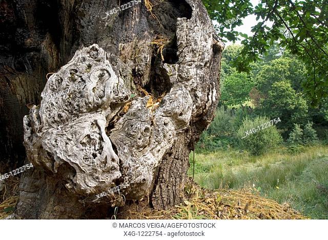Chestnut tree trunk Castanea sativa
