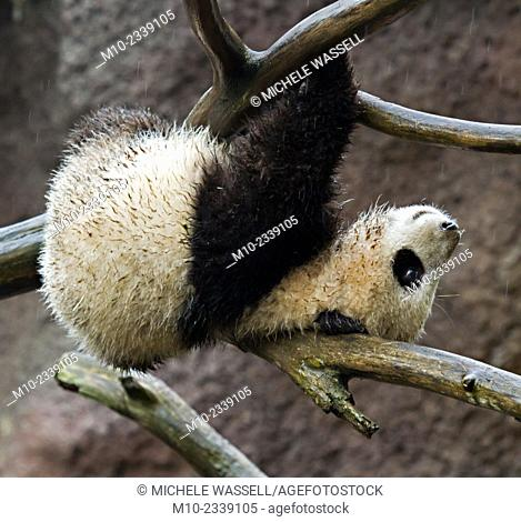 Young Giant Panda hanging upside down using a branch for support