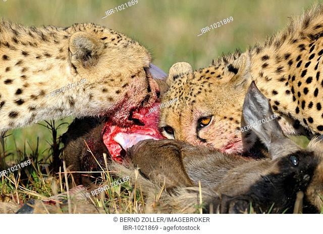 Cheetah (Acinonyx jubatus) with prey, Wildebeest (Connochaetes taurinus albojubatus), young animal, Masai Mara, national park, Kenya, East Africa