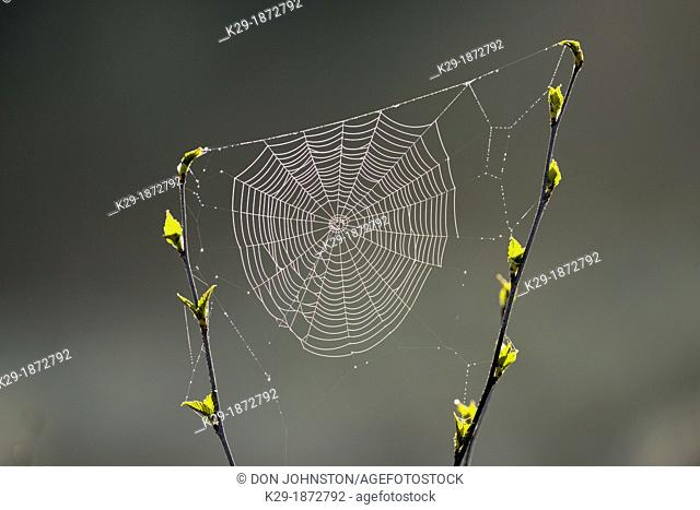 Orb-weaver spider web in a birch sapling in early spring, Greater Sudbury, Ontario, Canada