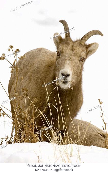 Bighorn sheep, (Ovis canadensis). Ewe grazing on roadside grasses, Lake Minnewanka Road