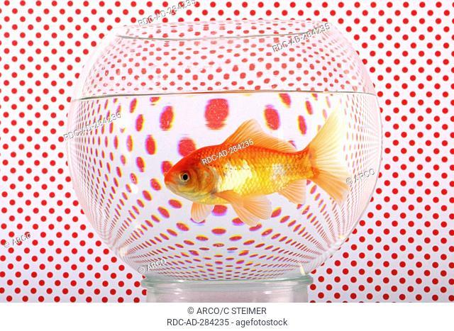 Goldfish in bowl / Goldfish bowl