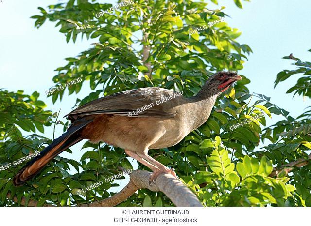Bird, Aracuã-pity-swampland, Pantanal, Mato Grosso do Sul, Brazil