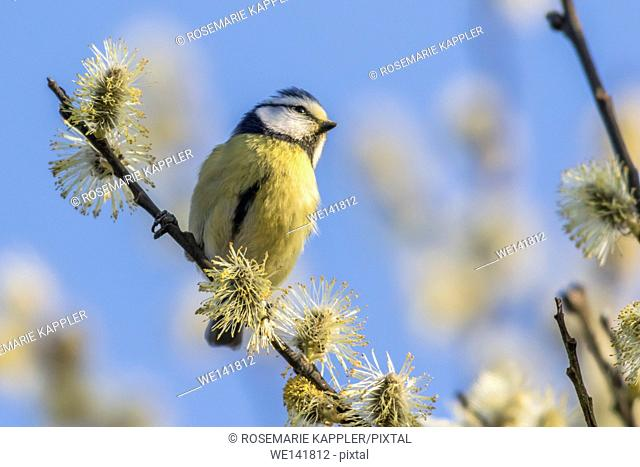 Germany, Saarland, Bexbach, A bluetit is sitting on a branch