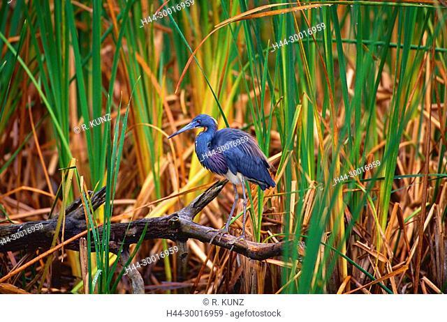 Tricolored Heron, Egretta tricolor, Ardeidae, Heron, bird, animal, Ding Darling Wildlife Refuge, Florida, USA