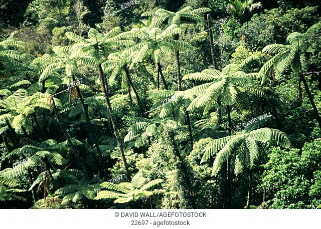 Tree Ferns. Waipoua forest. North Island. New Zealand