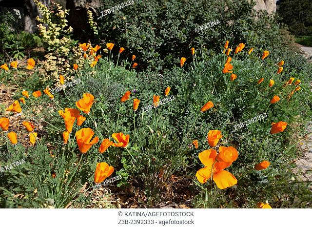 Close-up view of brightly colored Eschscholzia Californica, California poppies (common name) in the Santa Barbara Botanic Garden; Santa Barbara; Santa Barbara...