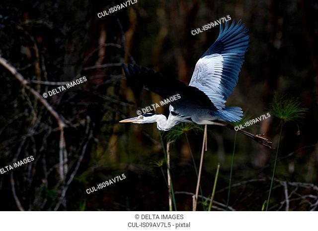 Grey heron (Ardea cinerea), Lake Naivasha, Kenya, Africa