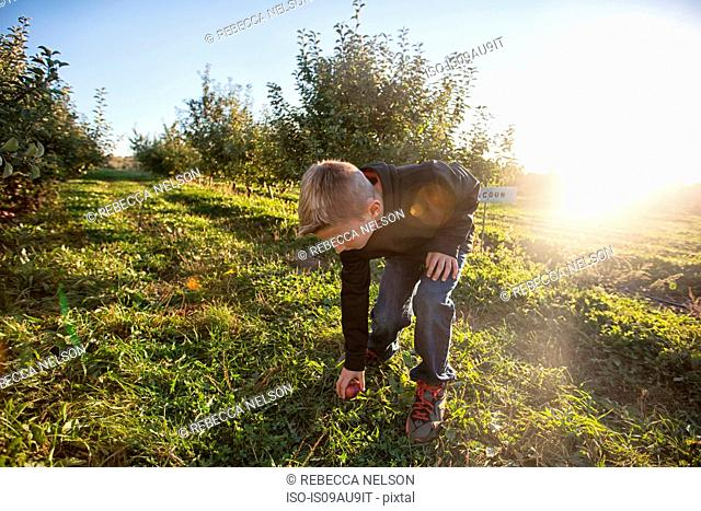 Boy in orchard bending over picking up apple from grass