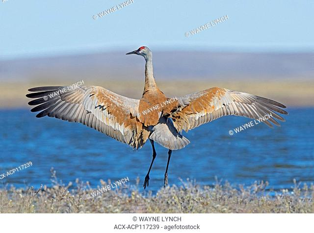 Sandhill crane (Grus canadensis) Victoria Island, Nunavut, Arctic Canada