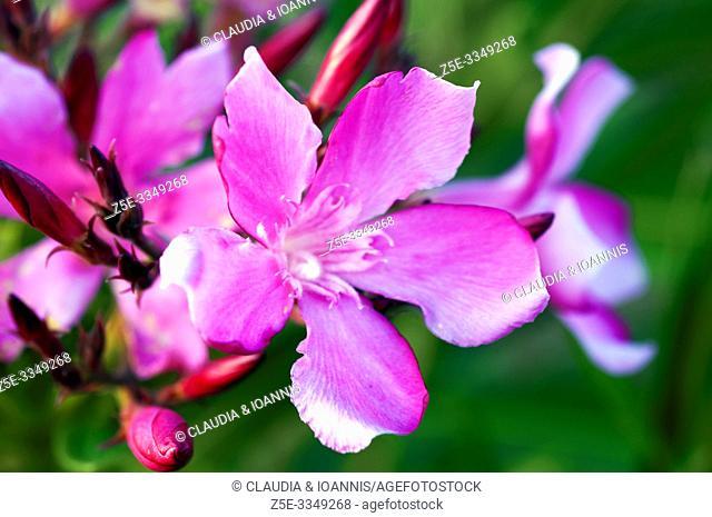 Close up of oleander flower