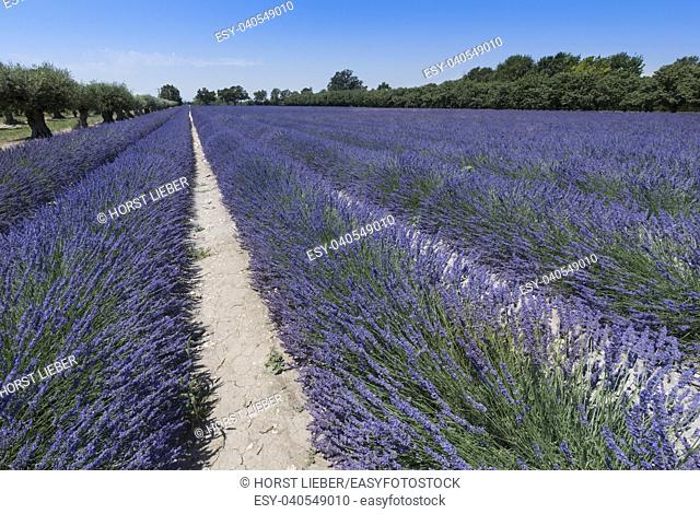 Lavender field at Coustellet. Vaucluse, Provence, France