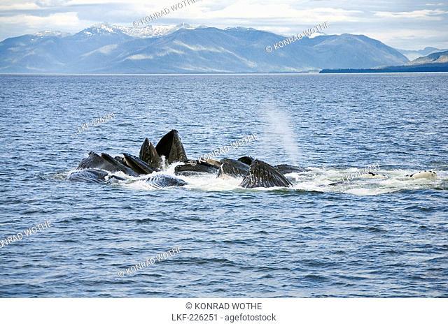 Humpback whales feeding, Megaptera novaeanglia, Inside Passage, Alaska, USA