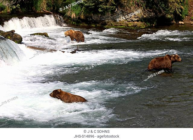 Grizzly Bear, (Ursus arctos horribilis), group of adults in water searching for food, Brookes River, Brookes Falls, Katmai Nationalpark, Alaska, USA