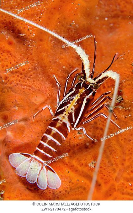 Juvenile Painted Spiny Lobster (Panulirus versicolor) at Batu Sandar dive site in Lembeh Straits in north Sulawesi in Indonesia