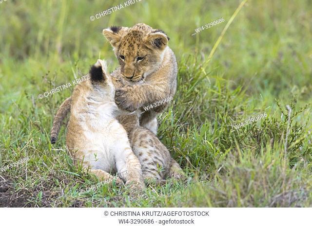 African Lion (Panthera leo) cubs playing, Maasai Mara National Reserve, Kenya, Africa