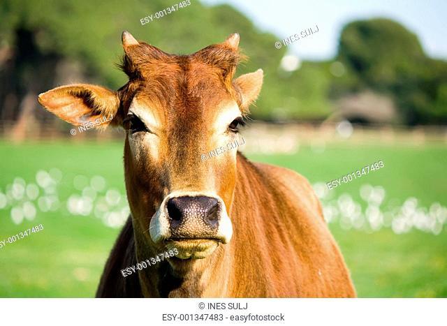zebu cow portrait
