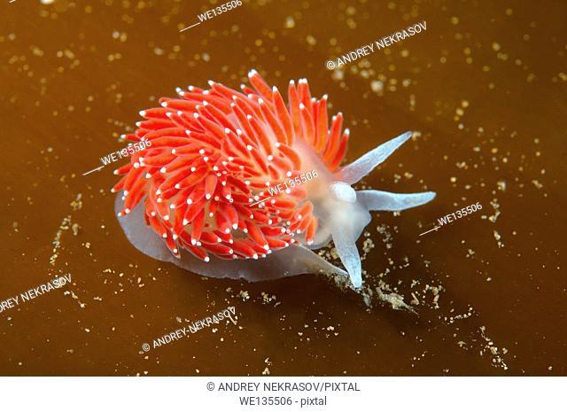 Nudibranch or Sea Slug ( Flabellina verrucosa ) Sea of Japan, Rudnaya Pristan, Far East, Primorsky Krai, Russia