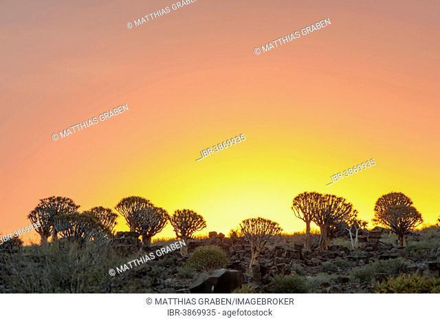 Quiver Tree or Kokerbom (Aloe dichotoma) on a rocky plateau, Keetmanshoop, Karas Region, Namibia