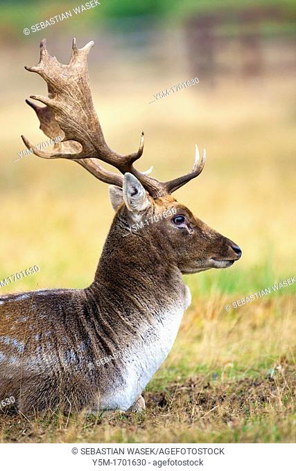 Deer Dama dama, Bradgate Park, public park in Charnwood Forest, Newton Linford, Leicestershire, UK, Europe
