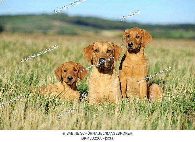 Labrador retriever, yellow, female dog with puppies