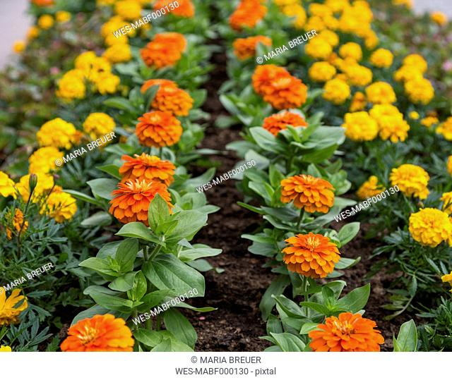 Germany, Baden Wuerttemberg, Tagetes flowers at Black Forest
