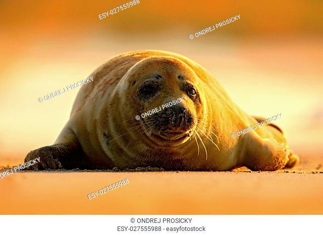 Grey Seal, Halichoerus grypus, detail portrait on the sand beach