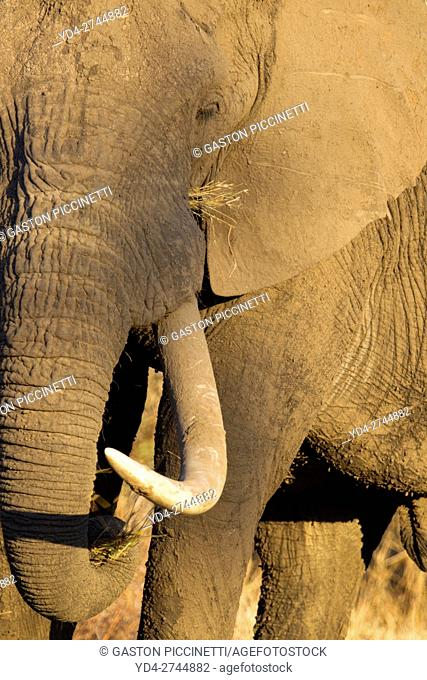 African Elephant (Loxodonta africana), Kruger National Park, South Africa