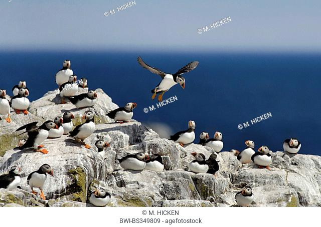 Atlantic puffin, Common puffin (Fratercula arctica), landing in a colony on a cliff, United Kingdom, England, Northumberland, Farne Islands