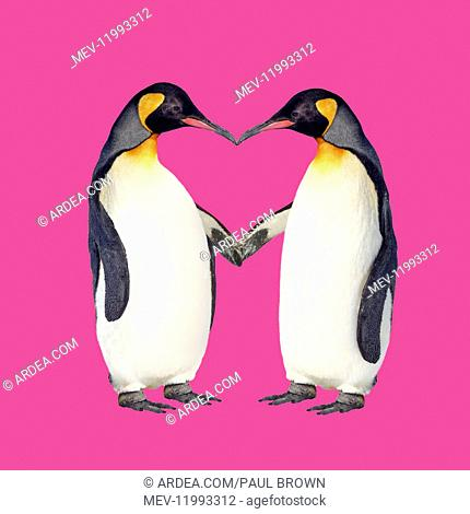 Emperor Penguin, pair holding hands creating a heart shape