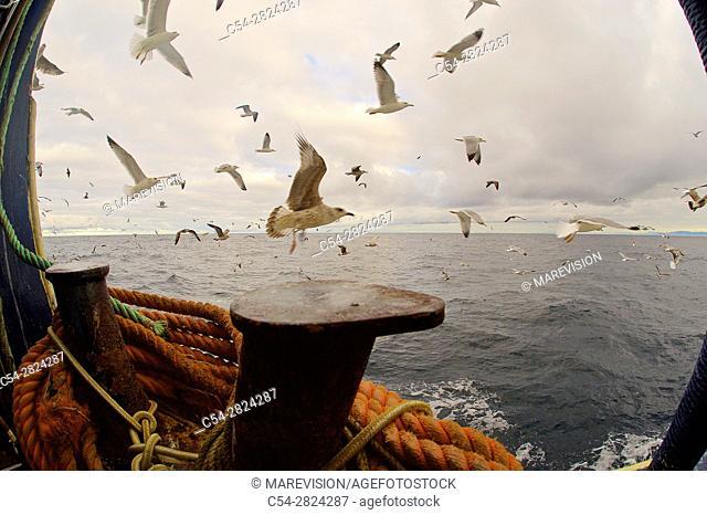 Life on board in a trawler. Yellow-legged gull (Larus michahellis). Eastern Atlantic. Galicia. Spain