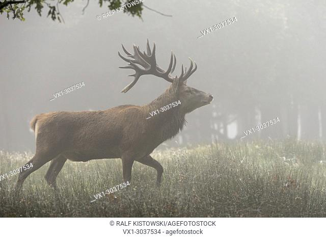 Red Deer ( Cervus elaphus ), old stag, runing through an open forest on a typical misty morning, Europe