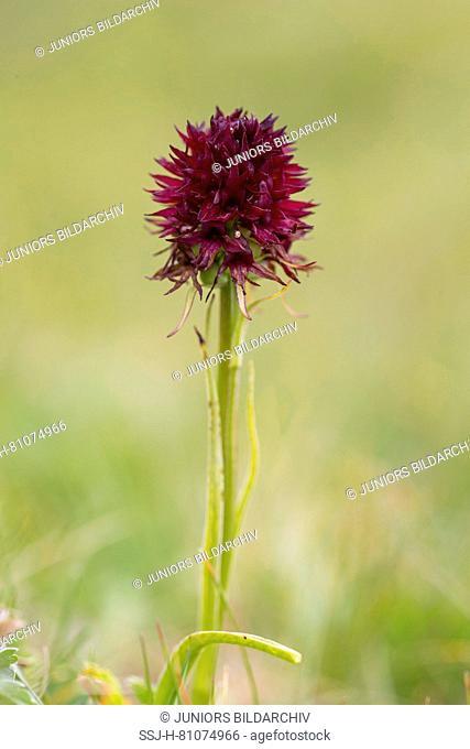 Black Vanilla Orchid (Nigritella nigra), flower. Hohe Tauern National Park, Carinthia, Austria