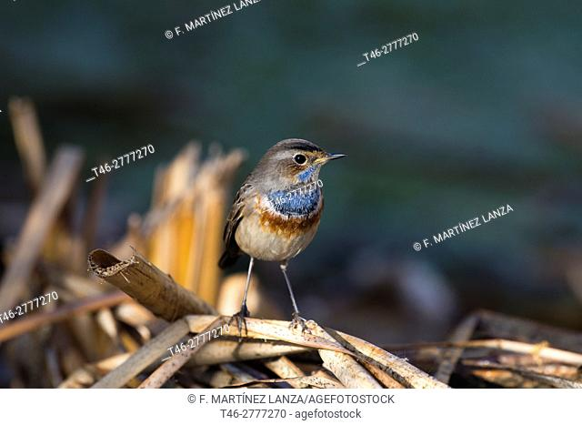 pechiazul (BLUETHROAT), Photographed in Ciudad Real