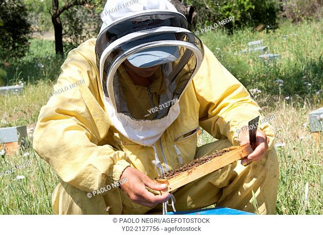 Beekeeper checking a frame of brood