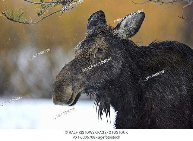 Moose / Elch ( Alces alces ) in winter, headshot of an adult female, detailled close-up on a rainy day, Yellowstone Area, Grand Teton, Wyoming, USA