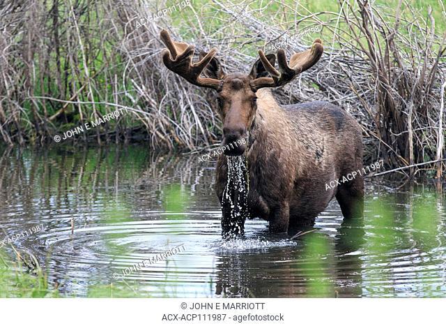Bull moose, Yukon