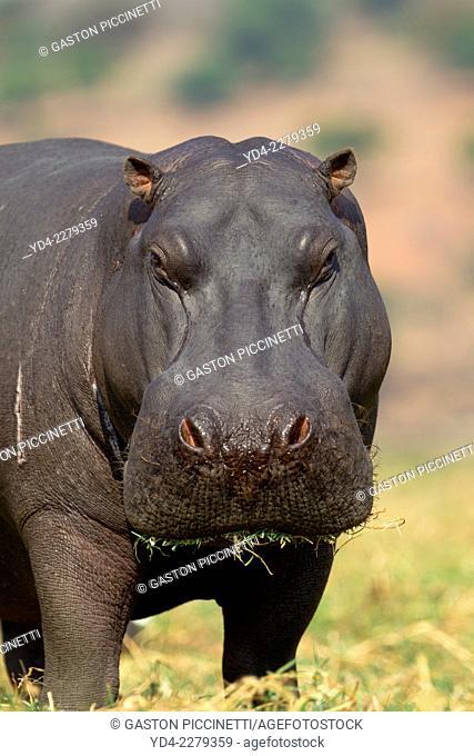 Hippopotamus (Hippopotamus amphibius), in the Chobe River, Chobe National Park, Botswana