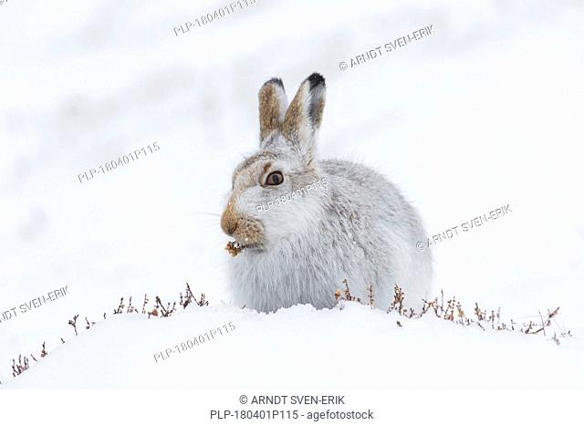 Mountain hare / Alpine hare / snow hare (Lepus timidus) in white winter pelage eating plants in the snow