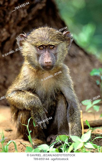 Young Olive Baboon, Papio anubis
