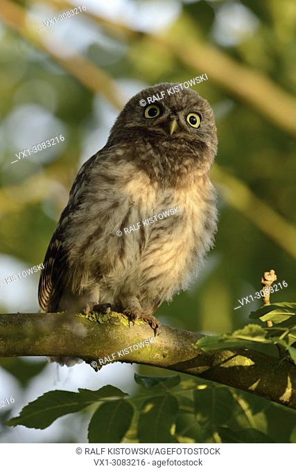 Minervas Owl / Little Owl ( Athene noctua ) gets exited, squeaking on a branch in beautiful light, wildlife, Europe.