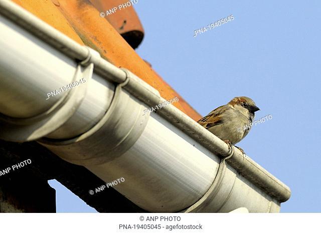 House Sparrow Passer domesticus - Neerpelt, Campine, Limburg, Flanders, Belgium, Europe